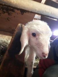 verschenke Baby Schaf